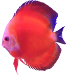 Pink orange tropical Angel Fish Bev Dunbar Maths Matters