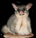 Possum Bev Dunbar Maths Matters
