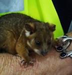 Pygmy Possum Bev Dunbar Maths Matters