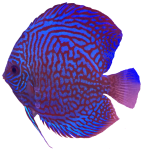 Red blue mottled tropical Angel Fish Bev Dunbar Maths Matters