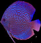 Red blue mottled tropical Angel Fish Bev Dunbar Maths Matters