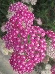 Repeated flower patterns Port Arthur Tasmania Bev Dunbar Maths Matters
