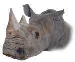 Rhino Head Bev Dunbar Maths Matters