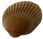 Seashell11---Bev-Dunbar-Maths-Matters-Resources