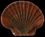 Seashell4-Bev-Dunbar-Maths-Matters-Resources