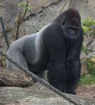 Silverback Gorilla Bev Dunbar Maths Matters