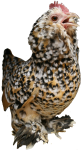 Speckled bantam hen - farm animals - Bev Dunbar Maths Matters