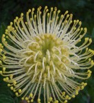 Spherical Grevillea Flower bev Dunbar Maths Matters