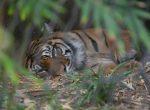 Sumatran Tiger Bev Dunbar Maths Matters