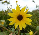 Sunflower 13 petals Bev Dunbar Maths Matters