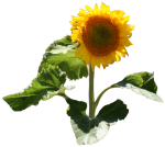 Sunflower Fibonacci Patterns-Bev-Dunbar-Maths-Matters-Resources