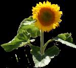 Sunflower Fibonacci Patterns-Bev-Dunbar-Maths-Matters-Resources