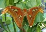 Symmetrical Balinese Atlas Moth Bev Dunbar Maths Matters