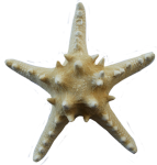 Symmetrical-Starfish-Bev-Dunbar-Maths-Matters