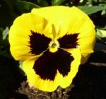 Symmetrical Yellow Pansy Bev Dunbar Maths Matters