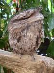 Tawny Frogmouth Owl Bev Dunbar Maths Matters