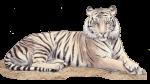 Tiger 250 kg John duffield duffield-design
