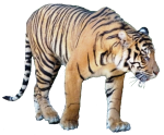 Tiger - wild animal Bev Dunbar Maths Matters