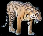 Tiger - wild animal Bev Dunbar Maths Matters