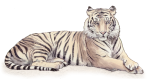 Tiger - wild animal John Duffield duffield-design