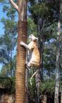 Tiger climbing 6 metres Warren Dunbar