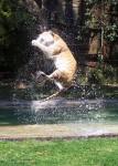 Tiger jumping 1 metre in the air Bev Dunbar Maths Matters