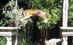 Tiger leaping across 3 metre gap Warren Dunbar
