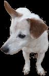 Tillie - Jack Russell dog - pets - Bev Dunbar Maths Matters