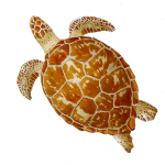 Turtle (no background) John Duffield duffield-design