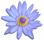 Water Lily Shadowed - Bev Dunbar Maths Matters