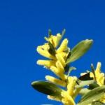 Wattle Day - Time - Calendar Bev Dunbar Maths Matters