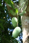 Whats the mass of a mango? Vanuatu Bev Dunbar Maths Matters