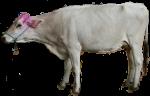 White cow - farm animals - Bev Dunbar Maths Matters