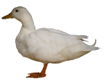 White duck - farm animals - Bev Dunbar Maths Matters