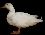 White duck - farm animals - Bev Dunbar Maths Matters