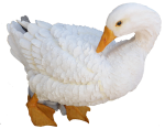 White fluffy duck - farm animals  Bev Dunbar Maths Matters