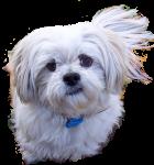White puppy Bev Dunbar Maths Matters copy