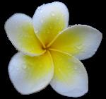 Yellow Frangipani 5 leaves - Bev Dunbar Maths Matters