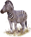 Zebra - wild animal John Duffield duffield-design