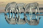 african zebra reflections