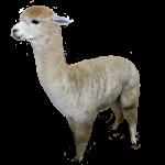 Place Value 1 Alpaca Bev Dunbar Maths Matters