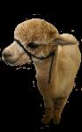 alpaca-4-Bev-Dunbar-Maths-Matters