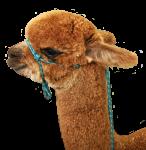 alpaca-head2-Bev-Dunbar-Maths-Matters