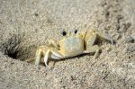 sand_crab