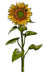 sunflower - John Duffield duffield-design