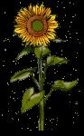 sunflower - John Duffield duffield-design